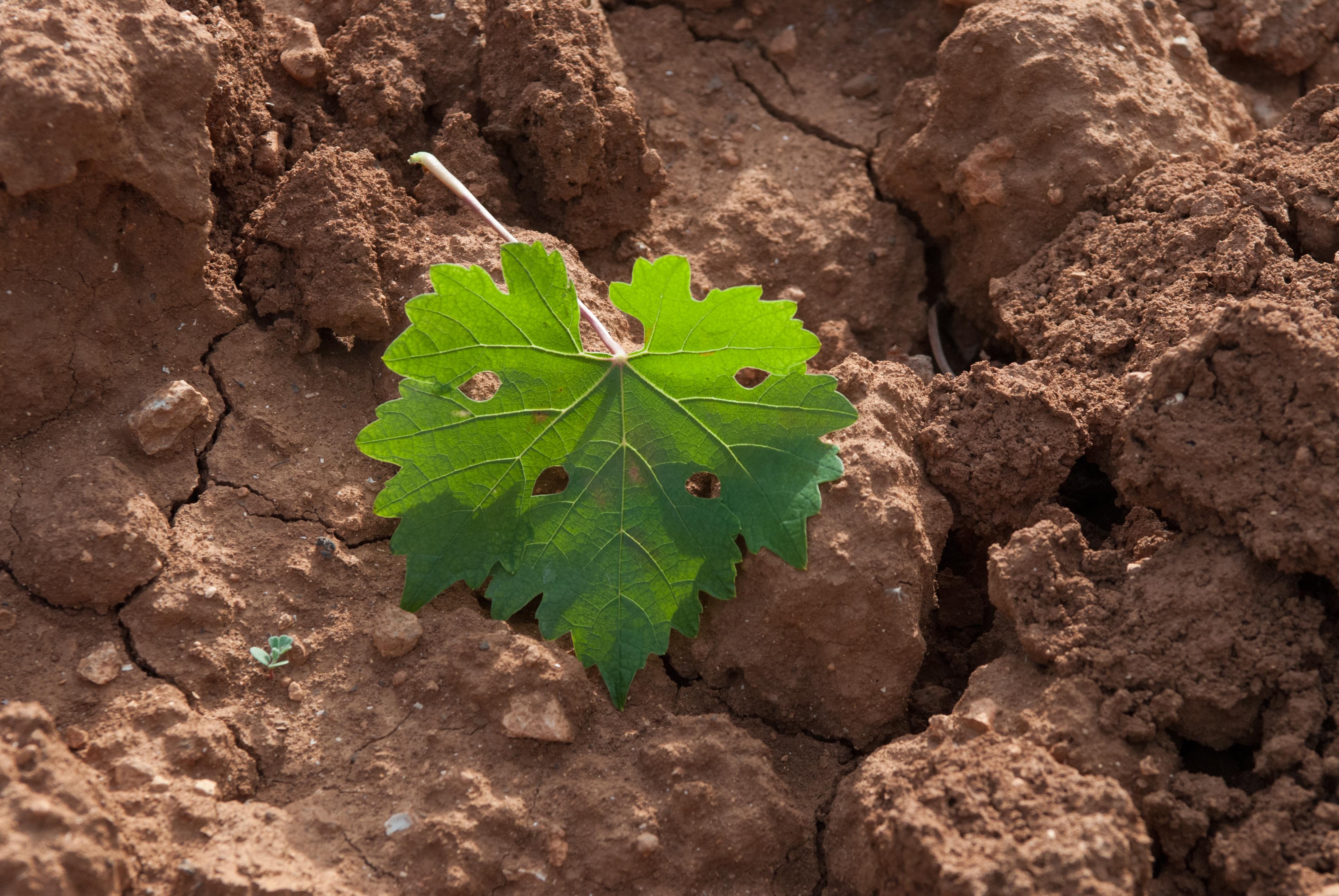 Hoja de viñedo sobre suelo de tierra rojiza formado por rocas calizas.
