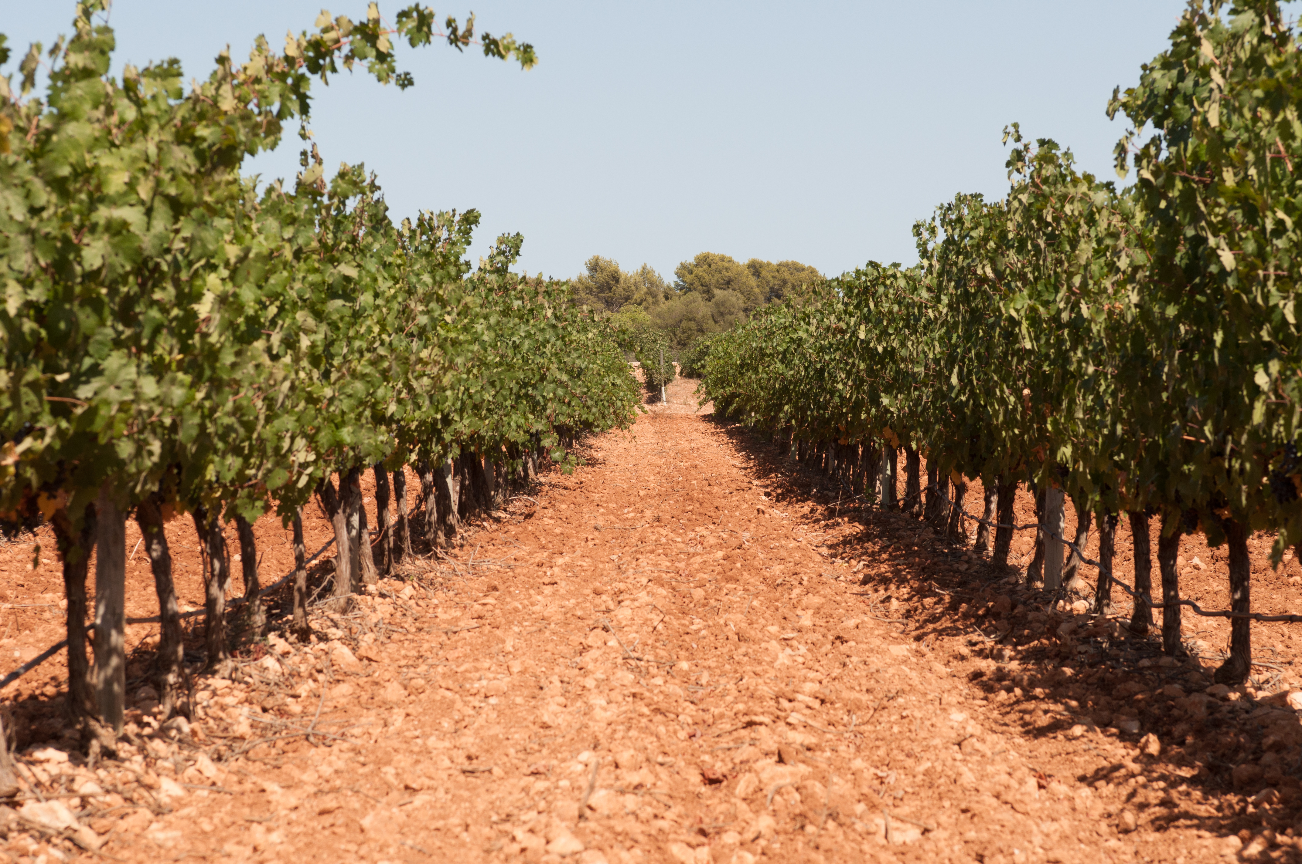 Camino entre dos hileras de viñas donde se aprecia la tierra caliza con tono rojiza.