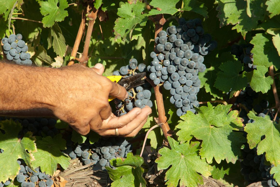 Primer plano de una mano cortando un racimo de uva de nuestro viñedo.