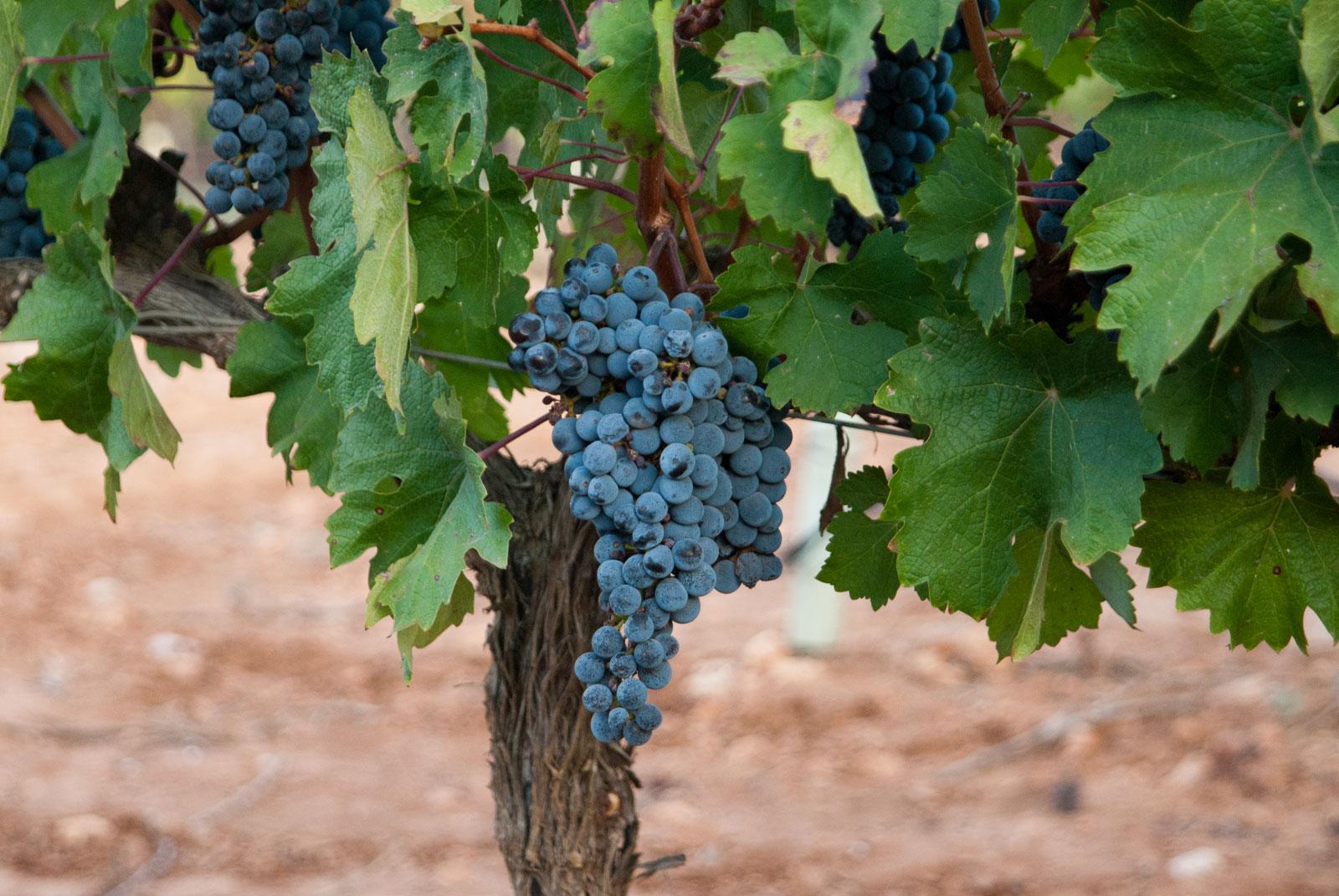 Un racimo de uva enfocado y de fondo otros racimos y el suelo sin enfoque.